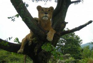 木の上で寛ぐライオン